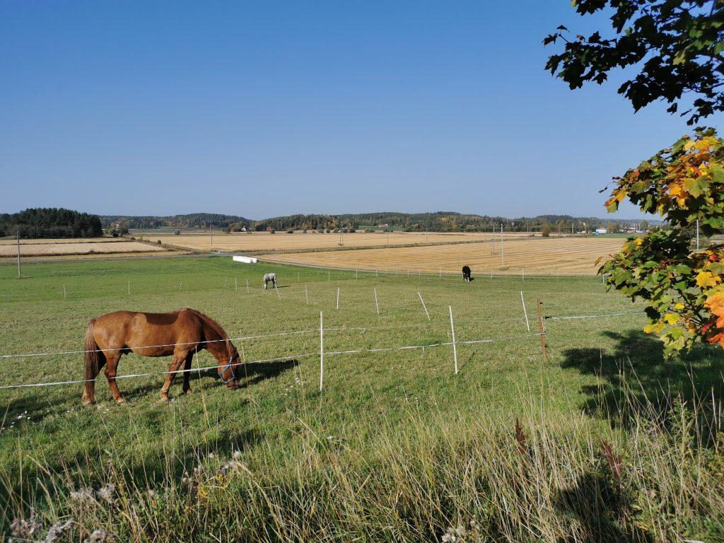 Hevosia laitumella Ylhäisten tilalla